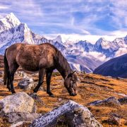 Sherpa horse on Everest Base Camp Trail